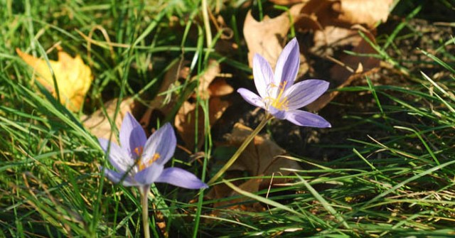 Meadow saffron – Colchique – Herbstzeitlose © A.B.
