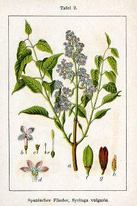Lilac drawing